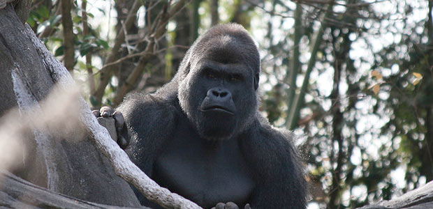 Linking Ape Conservation With Poverty Alleviation
