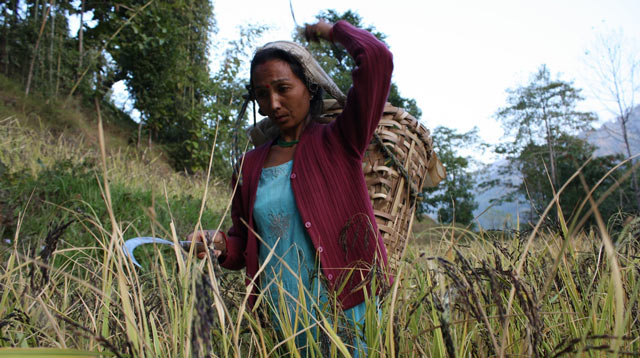 Woman farming rice in Kalimpong, Eastern Himalaya, India. In traditional Lepcha and Limbu communities, traditional knowledge is very closely linked to the biological resources found in the region and vice versa. Customary seed exchange, seed-networks and seed banks help protect their traditional knowledge and resources against permanent loss. Photo: Ruchi Pant/Ecoserve