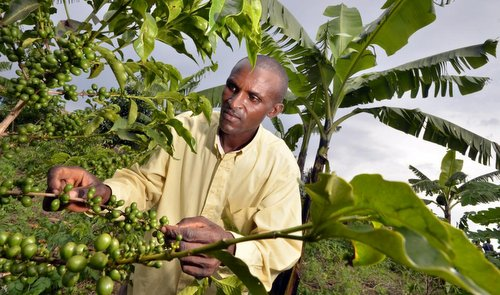 A man tends intercropped coffee and banana in Rwanda