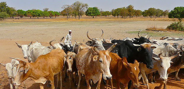 A man herds cattle in northern Burkina Faso, in west Africa.