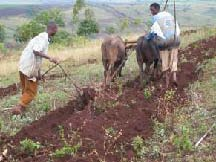 Farmers ploughing
