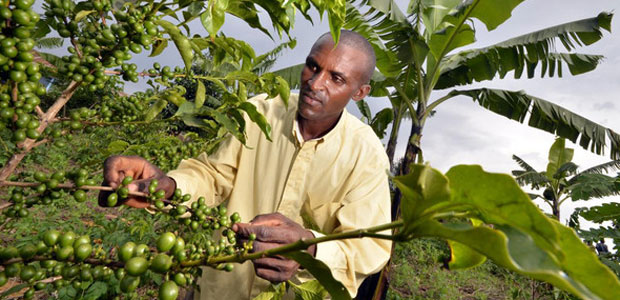 A Rwandan farmer checks his coffee beans. A banana tree is visible behind him.