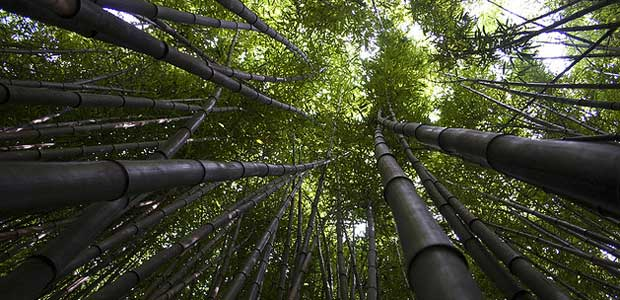 Picture of a bamboo forest canopy.