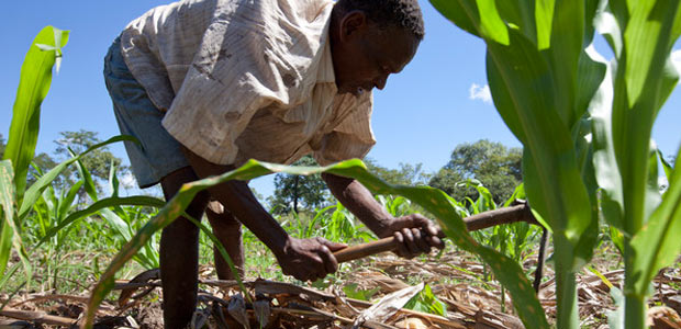 MECEBURI FOREST RESERVE, MOZAMBIQUE, May 2010: Farmer Nimale Maribu Saidi at work in his maize field