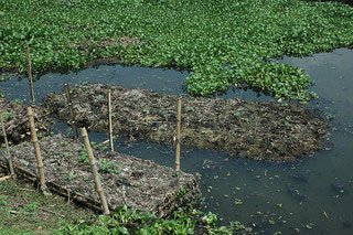 A picture of two floating gardens, or 'baira', which allow farmers to grow crops during the heavy rains when their fields are flooded, and is proof of the farmers' collective ingenuity in adapting to the impacts of climate change.