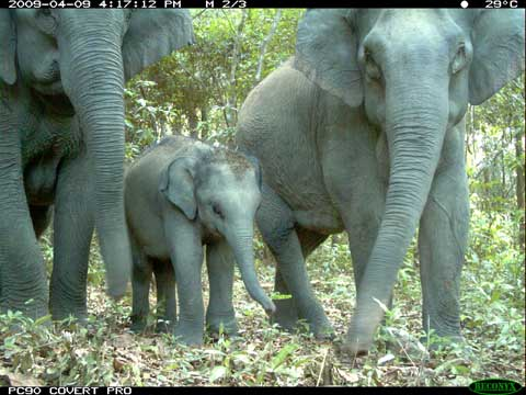 elephant baby caught by camera trap