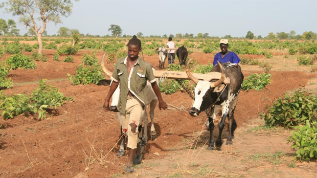 After the first rains, everyone goes out to plough crops in Dlonguebougou (Photo: Camilla Toulmin/IIED)