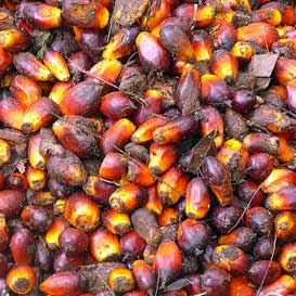 Oil palm fruits. The oil extracted from the fruits is used for cooking oil and also for biodiesel. Interest in biofuels, such as palm oil, is increasing, but the expansion of biofuel plantations could have a negative impact on biodiversity and the environment.