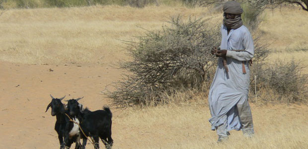 A man walks with his roaming goats.