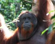 Bornean orangutan. Photo: Terry Sunderland