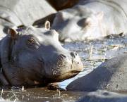 Hippos bask in the sun in Botswana.