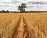 An example of crops grown through no-till farming in Western Australia (Photo: Bill Crabtree)