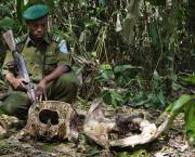 Captain Benjamin Kalimutima Lulimba finds the skull of an elephant recently killed by poachers who ripped out its tusks. Province Orientale, Democratic Republic of the Congo (Photo: Matchbox Media Collective)