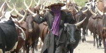 A pastoralist walks with his cattle in Niger.