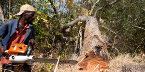 Simple License holder cuts down a hardwood tree in Meceburi Forest Reserve, Mozambique. Photo: Mike Goldwater