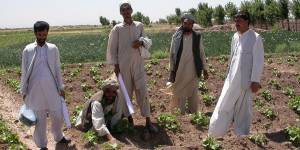 Afghan farmers and extension workers assess an okra field in Balkh Province, Northern Afghanistan. Credit: Barbara Adoph