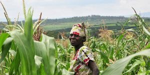 A Rwandan farmers stands in her field of maize with hills rising behind her in the background.