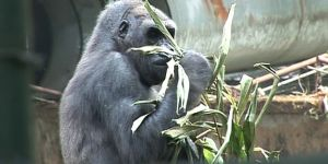 A stray ape rescued by Limbe Wildlife Centre in South West Cameroon (Photo: Stanley Dinsi)