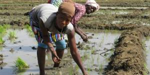 Women smallholders replanting rice in the irrigated area around the Bagré dam in Burkina Faso (Photo: Barbara Adolph/IIED)