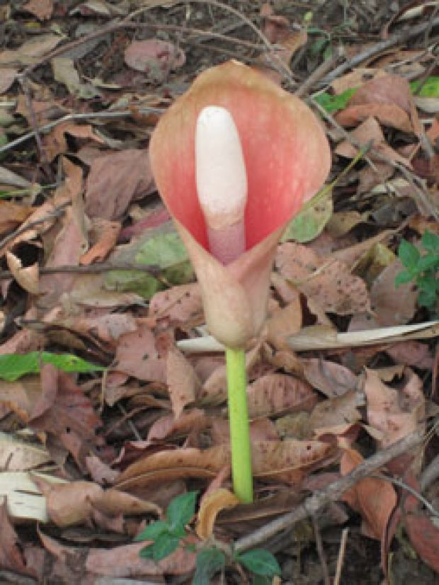 Picture of a pinkish flower of the Elephant Foot Yam, with the yam growing on a stem inside the flower..