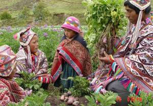 Indigenous farmers in the Andes Potato Park are conserving a huge varieties of potatoes to protect against climate variations. (Photo: IIED)