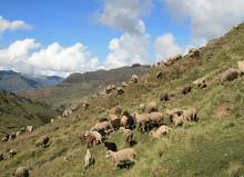 Local sheep varieties grazing in the Potato Park, Peru (Photo: Khanh Tran-Thanh/IIED)