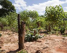 Trees cleared within Meceburi Forest Reserve, Mozambique, to make way for a casava field (Photo: Mike Goldwater)