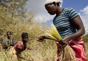 Women harvest their rice crop in Meceburi forest reserve, near Nampula, Mozambique (Photo: Mike Goldwater)