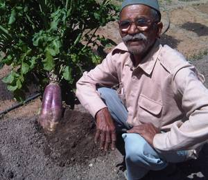 A new radish variety developed by Dayanand Joshi (Photo: Reetu Sogani)