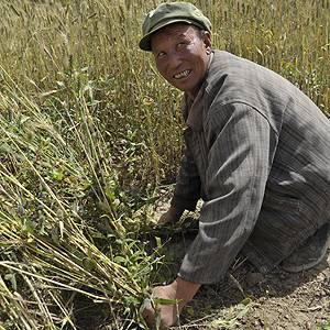 In Gansu Province, China, a farmer harvests wheat. The country has a history of traditional and ecological farming practices stretching back at least 4,000 years (Photo: Han Jianping)