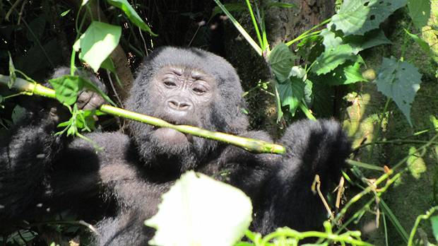 The mountain gorilla is among the endangered species at Bwindi Impenetrable National Park, which was the focus of a a recent radio show series on conservation efforts (Photo: Dilys Roe/IIED)