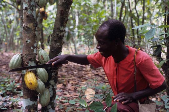 Cutting cocoa in Ghana. Credit: James Mayers