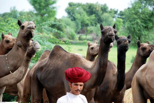 A Raika man and his camel herd enter the Kumbhalgarh Wildlife Sanctuary, Rajasthan, India.