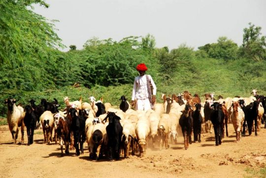 A Raika man leading his sheep and goats to graze in the contested Kumbhalgarh Wildlife Sanctuary.