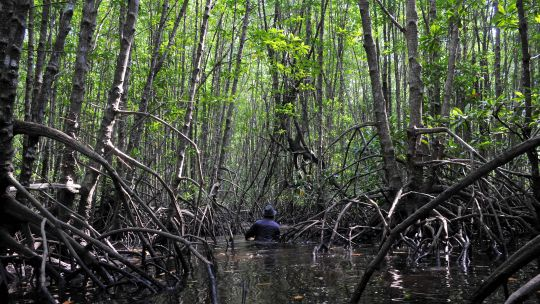 A scientist studies mangroves in West Kalimantan, Indonesia. Mangrove ecosystems support fisheries, prevent coastal erosion and store large amounts of carbon (Photo: Kate Evans/CIFOR)