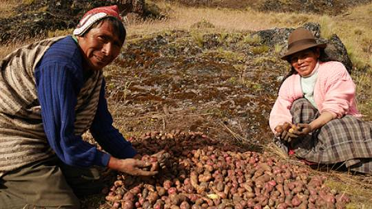 The potato harvest at Potato Park, Peru (Photo: Adam Kerby)