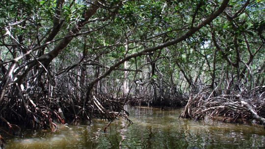 New tools can measure the benefits of ecosystems such as coastal mangrove forests, such as this one in Mexico. Mangroves provide protection from coastal flooding and erosion, as well as nutrition for marine life (Photo: Peyri Herrera, Creative Commons via Flickr)