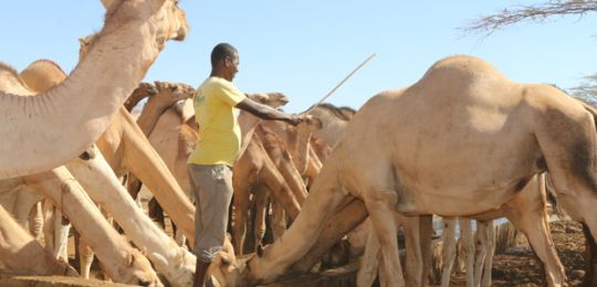Camels take on more water a rehabilitated borehole in Isiolo County, Kenya (Photo: Jane Kiiru)