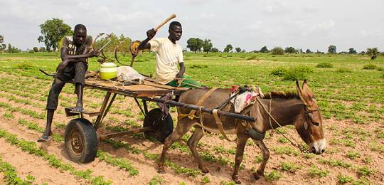 Stunted crops in the Kaffrine region of Senegal are the result of a lack of rainfall, jeopardising farmers' harvests (Photo: Daniella Van Leggelo-Padilla/World Bank, Creative Commons, via Flickr)