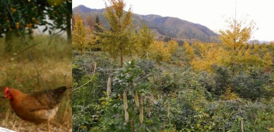 Chickens beneath Kumquat trees (left) and Millettia root grown alongside Ginkgo trees (right)