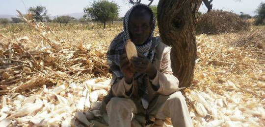 An Ethiopian farmer demonstrates the the impact of rain shortage on his maize crop (Photo: Dagnachew Belachew via Creative Commons http://creativecommons.org/licenses/by/2.0/)