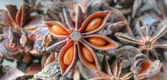 The star anise fruit resembles stars: the Thach Ngoa group has five hectares of Illicium verum trees ready for harvest (Photo: Wikipedia Commons)