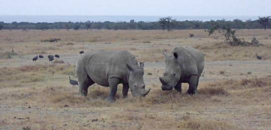 Ol Pejeta Conservancy in northern Kenya is home to four of the seven northern white rhino left in the world. The park is using SAPA as part of its community programme (Photo: Guy Lemal)