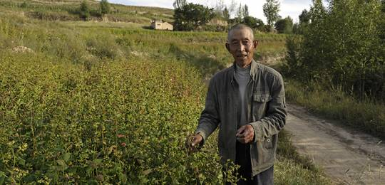 A farmer in a buckwheat field close to harvest time in Gansu Province, China. The country's agriculture is currently facing major environmental challenges (Photo: Han Jianping)