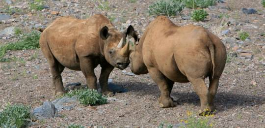 Community-based conservation has worked for black rhinos (Photo: Park Street Pro via http://creativecommons.org/licenses/by/2.0/)