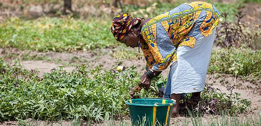 Women such as this farmer in a village in Guinea, pictured cultivating a crucial 'revenue stream', often lose out when communities are resettled due to large dams (Photo: Mike Goldwater)