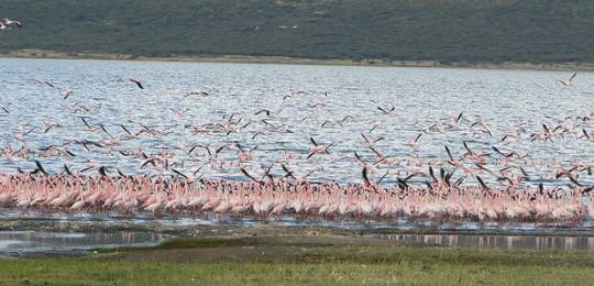 Flamingos around Lake Bogoria, the ancestral land of the Endorois people, Kenya (Photo: Minority Rights Group International)Lake Bogoria, the ancestral land of the Endorois people, Kenya (Photo: Emma Eastwood/MRG)