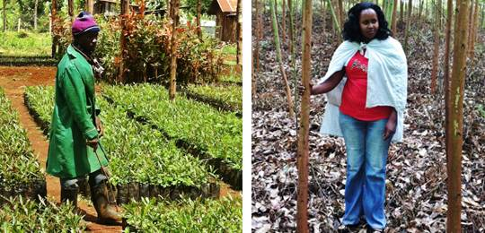Left, a nursery worker in Central Kenya meeting growing demand for forest-farm tree growing, and right, SACN member Ms Njeri has taken out a 10-year lease on land to grow trees (Photos: Duncan Macqueen/IIED)