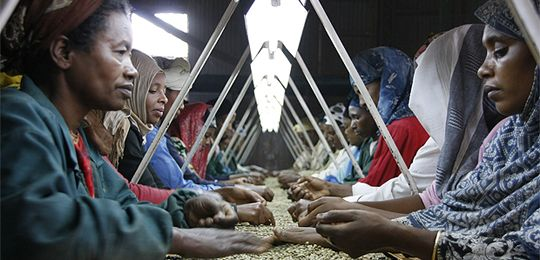Ethiopian women sort coffee beans at a long table. Gender equality and equity are vital components of the way IIED works (Photo: Wikipedia Commons)