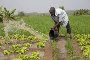 Seydou Kassojue, 47, has a garden plot (0.1 ha) where he grows lettuce. He can get four crop yields per year from this plot. He makes 50,000-100,000 CFA per season selling the lettuces to support his two wives and five children. He has been a farmer for 27 years and one of his wives has another plot as a member of a woman's co-op (Photo: Mike Goldwater/GWI)